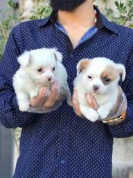 Chihuahua pelagem longa e curta