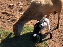 Carneiros e ovelhas