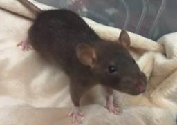 Twister ( ratos de estimação)