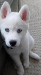 Husky Siberiano Filhote com Pedigree e Garantia de Saúde