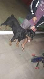 Rottweiler macho/ cruza