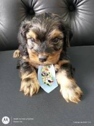 Belos bebês de York yorkshire terrier