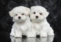Maltês filhotinhos brancos ^~^