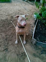 Pitbull Red Nose Puro