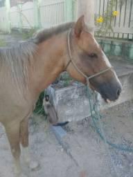 Égua  prenha de 8 meses mansa e montaria