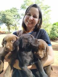 Título do anúncio: Labrador chocolate fêmea e macho