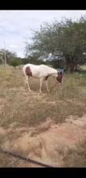 Égua Paint Horse