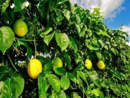 Muda de Maracuja Gigante Amarelo híbrido F1 sementes com certificação da emprapa