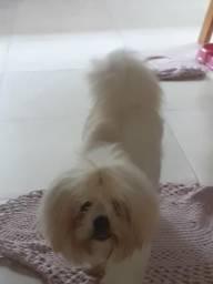 Shitzu fêmea