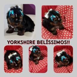 Filhotes De Yorkshire Disponível!