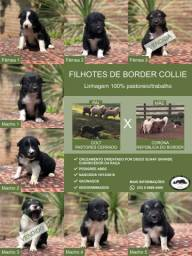 Filhotes de border collie