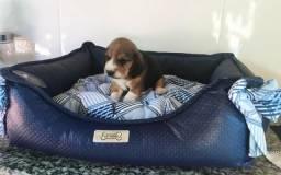 Belos Beagle