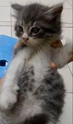 Vende-se filhote de gato (persa)