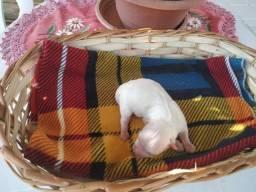 Vendo lindo filhote de Maltês puro, padrão da raça.