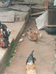 Galos e galinhas garnisé