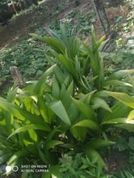 Vendo Muda de pé de coco