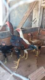 12 + 3 ovos de índio gigante! Índias de ovos azuis! Machos com + de 1 metro