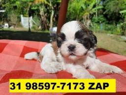 Canil Filhotes Cães Premium BH Shihtzu Poodle Pug Yorkshire Maltês Basset Fox