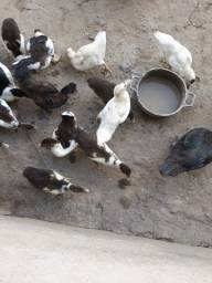 Vendo filhote de pato