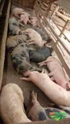 Vende se porcos
