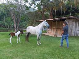 Égua Mangalarga Marchador (prenha)