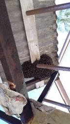 Retirada de enxame  abelhas apis