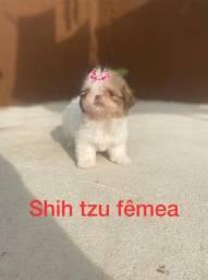 Shih Tzu fêmea venha adquirir