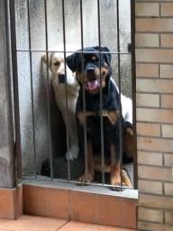 Título do anúncio: Vendo Rottweiler