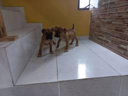 Título do anúncio: Lindos filhotes cachorro boxer 700