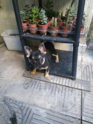 Chihuahua com dois meses