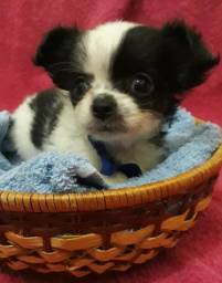 Chihuahuas micro