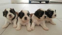 Filhotes de cachorro Shitzu !!!