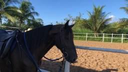 Oportunidade - Cavalo mangalarga marchador preto