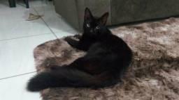 Doação/Gato da raça Bombaim