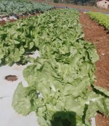 Verduras de Folhas Zero Agrotóxico