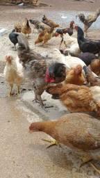 Vendo frango e galinha caipira