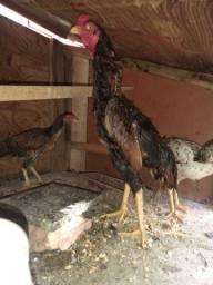 Galo índio e 3 galinha