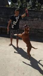 Cachorro Boxer legítimo a procura de uma namorada