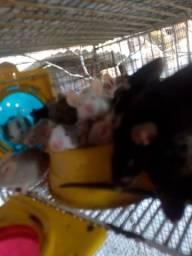 Vendo Hamsters(Topolinos)