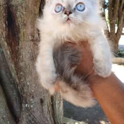Gatos persas Disponível whats *