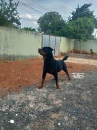 Rottweiler disponível para cruza