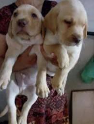 Labrador com 45 dias vacinados.