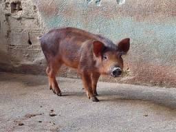 Vendo filhote de java porco Fêmea (Aproveite)
