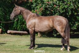 Cavalo Crioulo Capado, laço comprido.