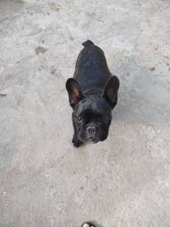 Vendo Bulldog francês 4 meses