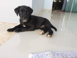 Filhote de Labrador, macho com 2 meses.