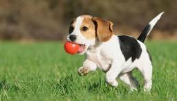 Beagle macho e fêmea!!