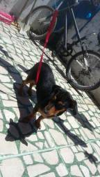 Doa -se cãozinho mestiço de basset