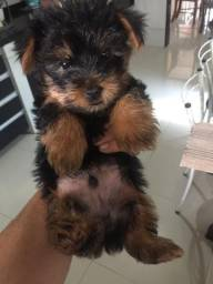 Filhote macho legítimo de Yorkshire Terrier