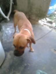 Procuro cão boxer p/ cobertura